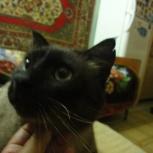 Найден сиамский кот, Екатеринбург