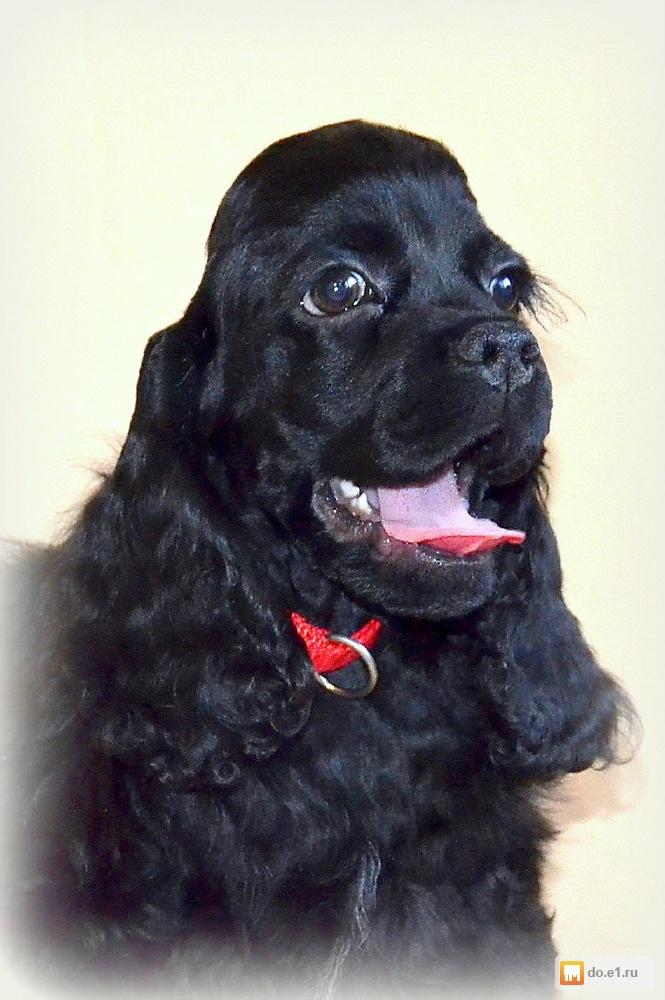 Собаки и щенки породы Далматин  купить из питомников и