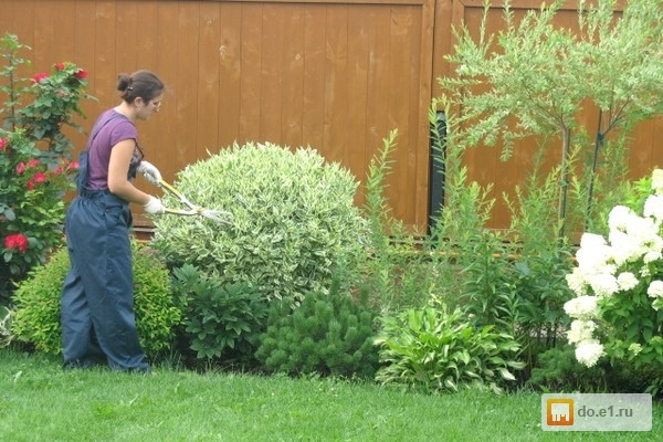 как правильно посадить дерен белый весной