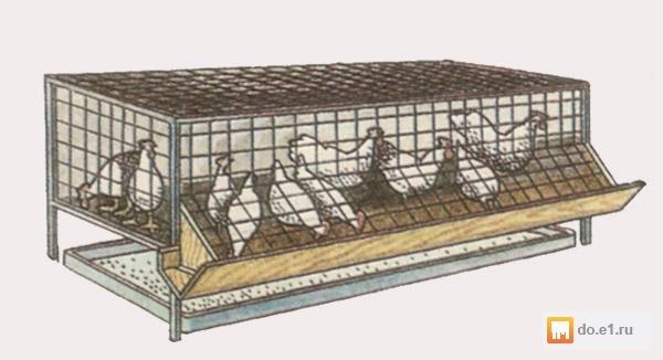 Содержание и выращивание бройлеров в домашних условиях