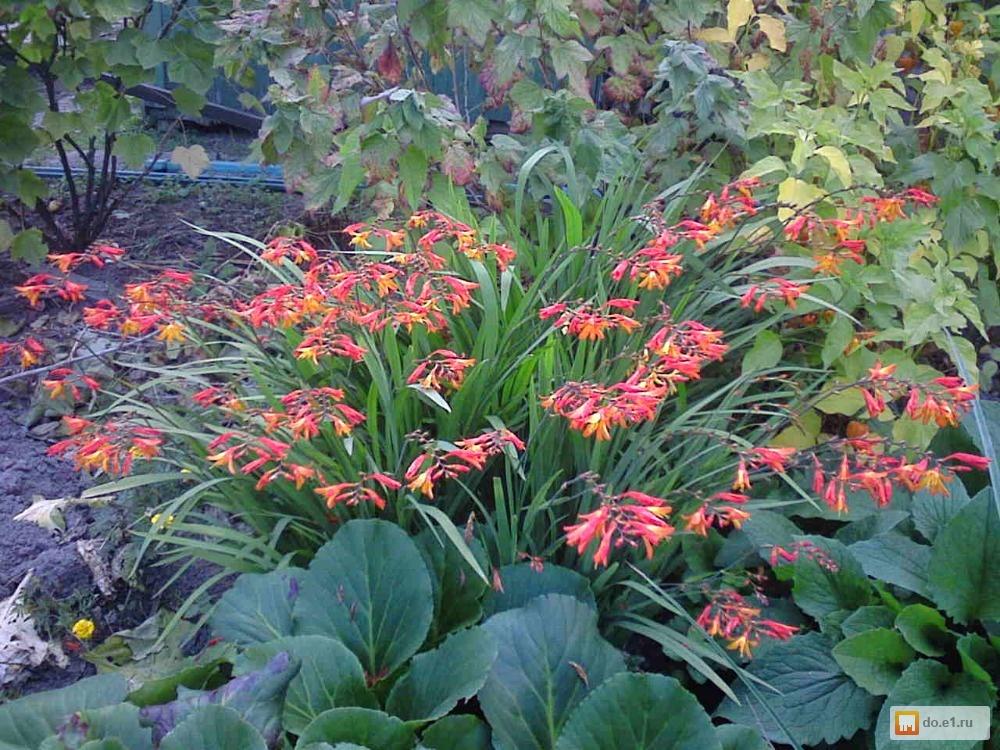 Многолетние цветы на урале