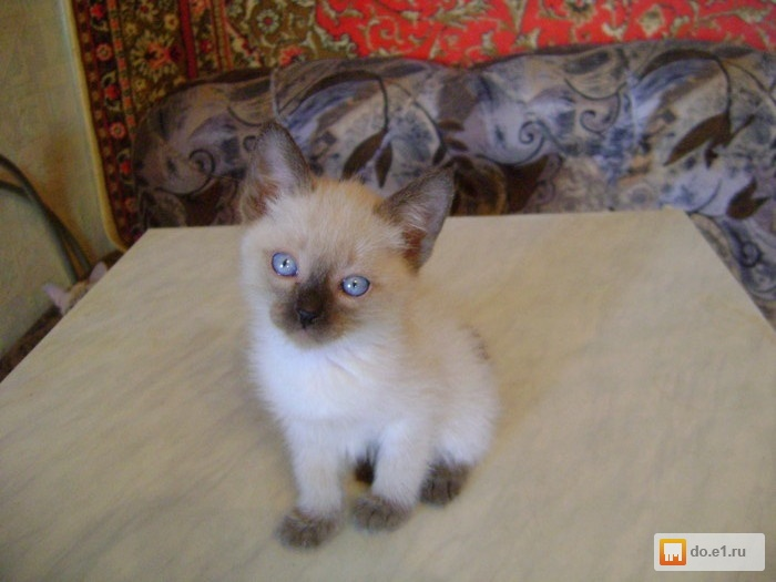 Кот тайский: описание породы, характер, фото