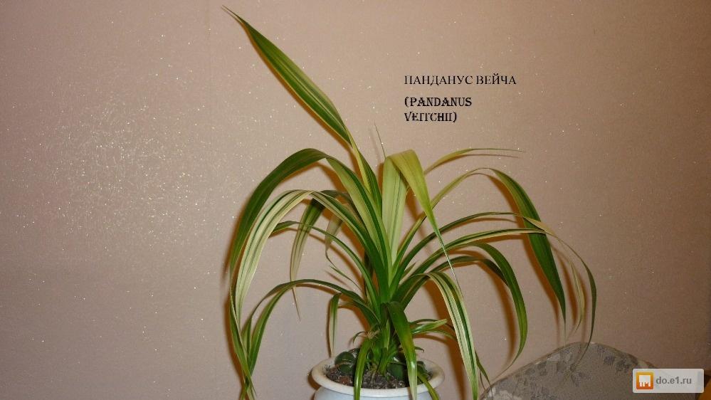 Панданус - Pandanus: фото, условия выращивания, уход и ...