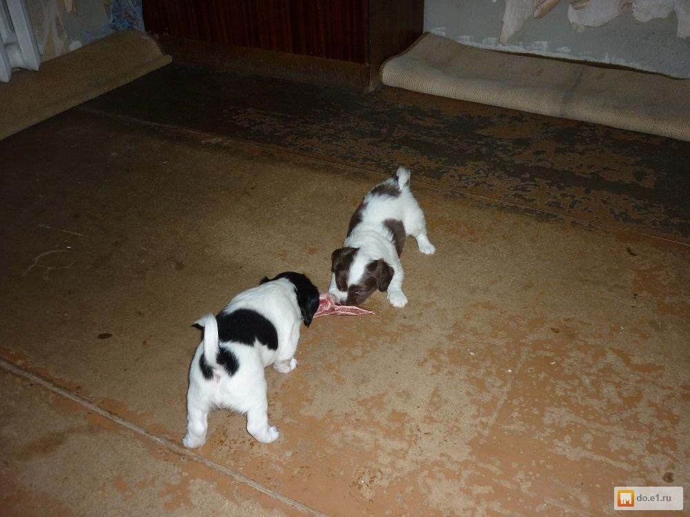 Бойцовские породы собак бойцовые собаки с названием