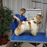 Бело-рыжие щенки американского кокер спаниеля, Екатеринбург