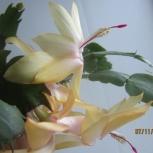 Цветок Декабрист, Екатеринбург