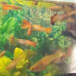 аквариумные рыбки и растения продам, Екатеринбург