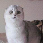 Шотландские  котята подростки в драгоценной шубке., Екатеринбург