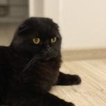Потерялся кот, чёрный вислоухий шотландец, Березовский, Екатеринбург