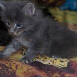 Бронь на котёнка Мэйн-кун, Екатеринбург
