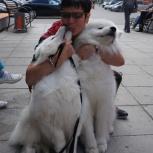 Дрессировка  собак, с проживанием  собаки у кинолога., Екатеринбург
