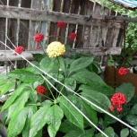 Женьшень натуральный семена дальневосточный, Екатеринбург