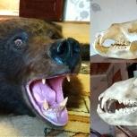 Продам череп медведя, Екатеринбург