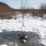 продам семью гусей, Екатеринбург