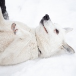 Найдена собака-лайка, Екатеринбург
