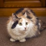 Кошка Шарлотта, молодая пушистая богатка, Екатеринбург