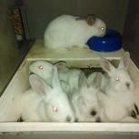 Кролики Калифорнийцы, Екатеринбург