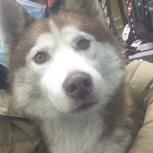 Найдена собака хаски, Екатеринбург