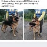 Кобель Немецкой овчарки, Екатеринбург