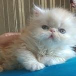 Персидский котенок, Екатеринбург