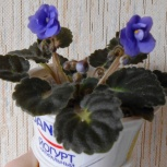 Цветущие фиалки (сенполии) - растения, а не листики, Екатеринбург
