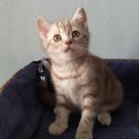 Шотландский котик Ластик, Екатеринбург