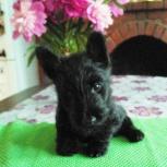 щенок  скотч терьера маленький джентльмен, Екатеринбург