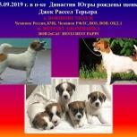 Щенки Джек Рассел Терьера, Екатеринбург