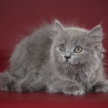 Шотландский котёнок, Екатеринбург
