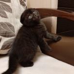 Шотландский вислоухий котенок-чёрная пантерка., Екатеринбург