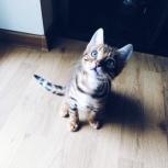 Бенгальский котёнок, Екатеринбург