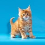 Яркие котята мейн-кун, Екатеринбург
