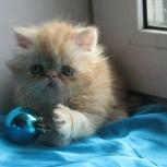 Продается персидский котенок, Екатеринбург