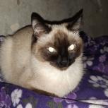 кошка похожа на тайскую потеряшка, Екатеринбург