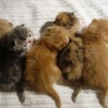 Продаются персидские и экзотические котята экстремального типа, Екатеринбург