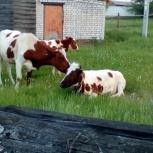 Продаются коровы, козы, Екатеринбург