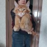 Мейн-кун котик красного тиккированного окраса, Екатеринбург
