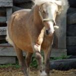 Пони жеребец, пони кобылы и терский жеребец, Екатеринбург