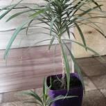 Драцена комнатная пальма, Екатеринбург