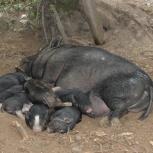 Поросята вьетнамские вислобрюхие свиньи 2-6 месяцев, Екатеринбург