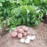 Продажа картофеля, Екатеринбург
