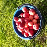 Яблоки садовые, Екатеринбург