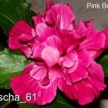 Гибискус Pink Bouquet, Екатеринбург