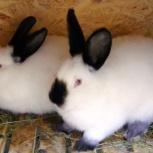 Калифорнийский кролик, Екатеринбург