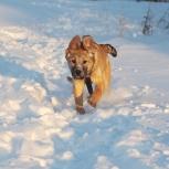 Ласкуля-Рыжуля, щенок с большой душой, в дар, Екатеринбург
