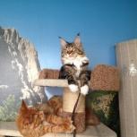 Кошка Мейн Кун в добрые руки, Екатеринбург