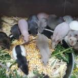 Крыс крысята дамбо крысенок крыса декоративная, Екатеринбург