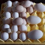 яйца для инкубации, Екатеринбург