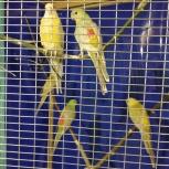 Певчие попугай, Екатеринбург
