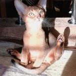 Абиссинские котята, Екатеринбург